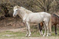 Белый жеребец дикой лошади Стоковое Изображение