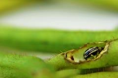 Белый жук с слепым пятном Стоковое Изображение