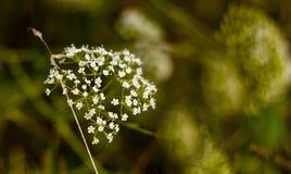 белый завод на поле Лук весны весной стоковое изображение