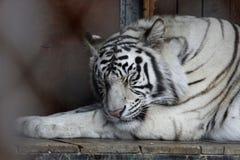 Белый зоопарк кота животных тигра стоковое фото rf