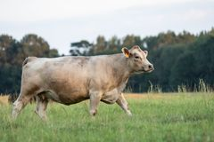 Белый идти коровы стоковое изображение