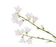 Белый изолированный цветок колокола Стоковые Изображения RF
