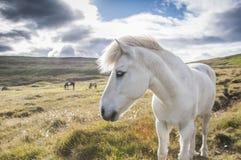 Белый исландский профиль лошади, Исландия Стоковое Фото