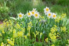 Белый и желтый narcissus Стоковая Фотография