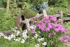 Белый и фиолетовый сад флокса Стоковое Изображение RF
