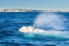 Белый кит Стоковая Фотография RF
