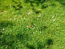 Белый клевер в зеленой траве Стоковые Изображения RF