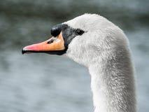 Белый конец-Вверх 01 лебедя Стоковые Изображения RF