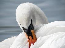 Белый конец-Вверх 02 лебедя Стоковая Фотография