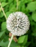 Белый конец-вверх цветка лукабатуна на зеленой естественной предпосылке Стоковое Изображение