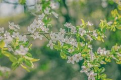 Белый конец ветви цветков вишни вверх по весне Стоковое фото RF