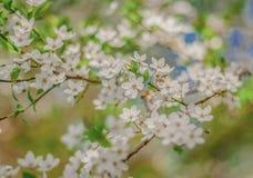 Белый конец ветви цветков вишни вверх по весне Стоковая Фотография