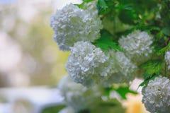 Белый конец ветви цветков калины вверх по весне Стоковые Изображения