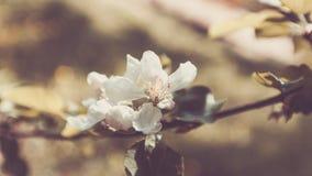 Белый конец ветви цветков Яблока вверх по весне ретро Стоковая Фотография