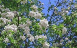 Белый конец ветви цветков Яблока вверх по весне Стоковая Фотография