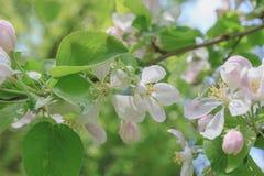 Белый конец ветви цветков Яблока вверх по пастели весны Стоковые Фотографии RF