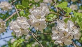 Белый конец ветви цветков Яблока вверх по пастели весны Стоковое Фото
