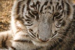 Белый конец тигра вверх Стоковые Изображения RF