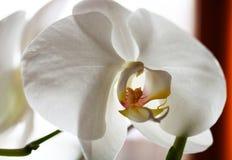 Белый конец orchidea вверх по фотографии Стоковое фото RF