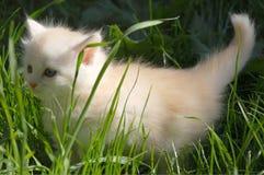 Белый котенок в траве Стоковые Изображения RF