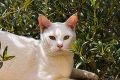 Белый кот представляя в солнце Стоковое Изображение RF