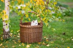 Белый кот смотря из плетеной корзины Стоковые Фото