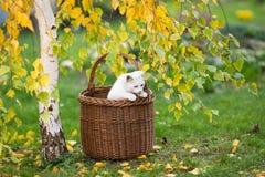 Белый кот смотря из плетеной корзины Стоковые Фотографии RF