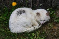Белый кот спать в gras на Исландии стоковые фото