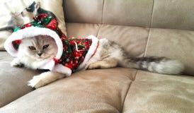 Белый кот с серым цветом, в новом Year& x27; костюм s Кот великобританского стоковые фото
