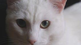 Белый кот с фото голубого глаза Стоковая Фотография