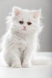 Белый кот Стоковые Изображения