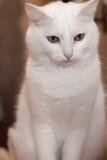 Белый кот Стоковые Изображения RF