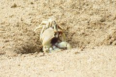 Белый краб в песке парка пляжа Hanamaulu, Кауаи, Гаваи стоковая фотография rf