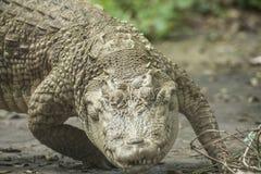 Белый крокодил/крокодил альбиноса сиамский Стоковая Фотография RF