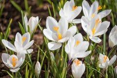 Белый крокус на flowerbed стоковое изображение rf