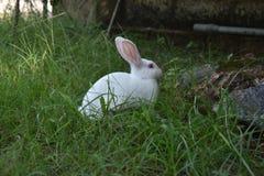 Белый кролик есть траву в диком стоковое фото