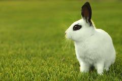 Белый кролик зайчика Outdoors в траве Стоковое Изображение RF