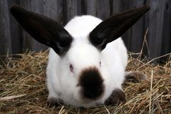 Белый кролик Калифорния стоковые фотографии rf