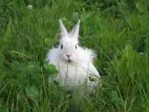 Белый кролик сидя в траве стоковые фотографии rf