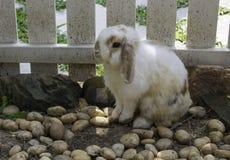 Белый кролик сидя на каменном поле в клетке Стоковое Изображение