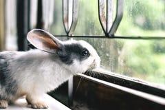 Белый кролик смотря через окно, любознательный маленький зайчик наблюдая вне окно в солнечном дне Стоковая Фотография