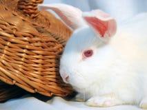 Белый кролик стоковые изображения rf