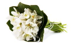 Белый крупный план цветков snowdrops Стоковые Изображения RF