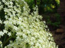 Белый кустарник gaudichaudiana sambucus elderberry стоковое фото