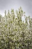 Белый куст вишни птицы Стоковые Фотографии RF