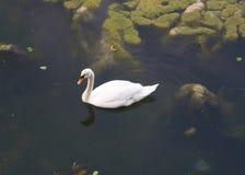 Белый лебедь в Испании в Испании стоковое изображение rf