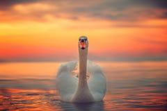 Белый лебедь в море, съемка восхода солнца Стоковое Изображение RF