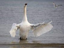 Белый лебедь в одичалом стоковое фото rf