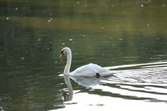 Белый лебедь в озере стоковые фотографии rf