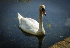 Белый лебедь в озере стоковое фото rf
